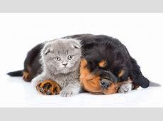 Фотографии Щенок Котята Ротвейлер Кошки Собаки 2 спящий