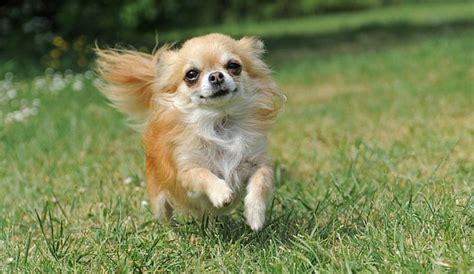 shih tzu chihuahua mix shichi  info   adorable breed