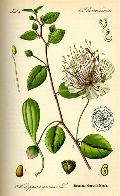 Caper Illustration Capparis Wikipedia Plant Botanical Flower