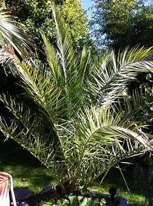 Palme Winterhart Kübel : winterharte palmen ~ Michelbontemps.com Haus und Dekorationen