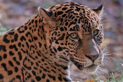 Jaguar 6275 By Robbobert On Deviantart Animal
