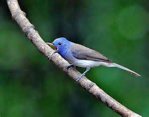 Black-naped Monarch Where Do They Live
