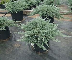 Juniperus horizontalis 'Blue Chip' Juniper, Blue Chip from ...