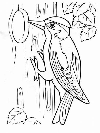 Coloring Pages Woodpecker Birds Woodpeckers Template Colors