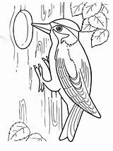 Coloring Pages Woodpecker Birds Woodpeckers Print Colors Recommended sketch template