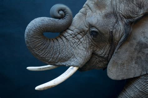 la trompa del elefante