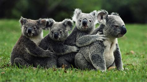 Wallpaper Nature Animals - nature koalas animals wallpapers hd desktop and mobile