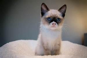 My foster kitten looks like Grumpy Cat. : aww