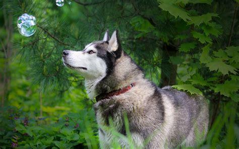 siberian husky dog wallpaper widescreen imagebankbiz