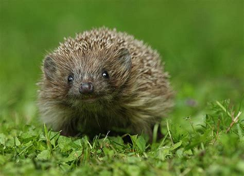 Smiling Hedgehog.