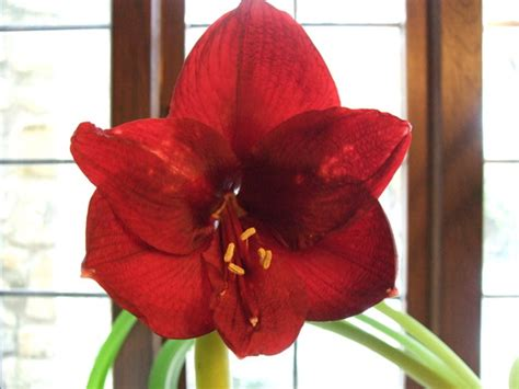 amaryllis black pearl grows on you