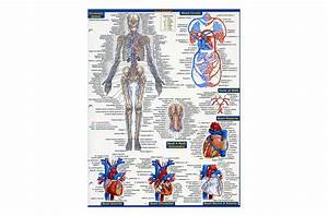 Anatomy - Quickstudy Reference Guide