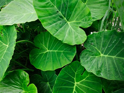Taro Leaves: Nutrition, Benefits, and Uses