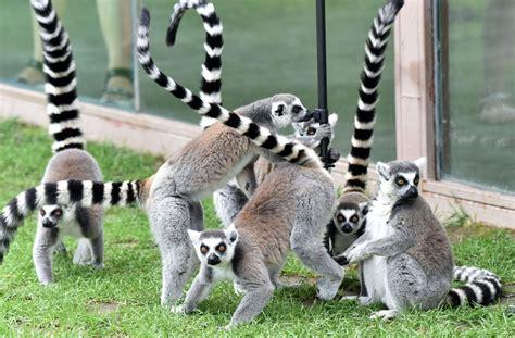 Zinātnieki: Gandrīz visām lemuru sugām draud izmiršana ...