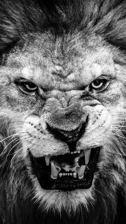 Lions Detroit Screensaver Lion Wallpapers Backgrounds
