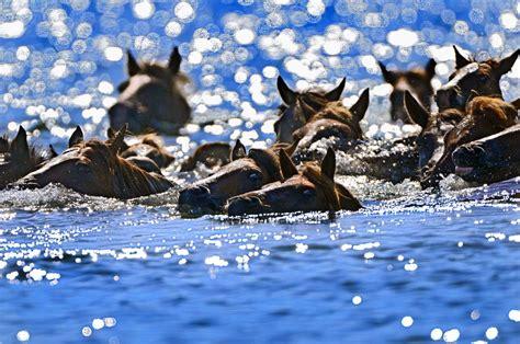 chincoteague pony island places assateague