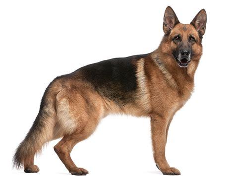 berger allemand tout sur cette race de chien