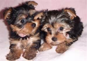 Free Teacup Yorkie Puppy Adoption
