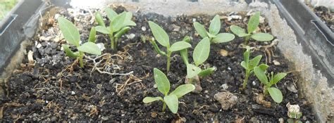 why you should plant milkweed right now huffpost