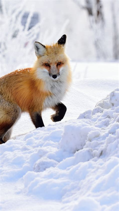wallpaper fox winter snow hd animals