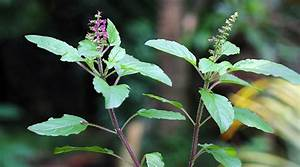 How Holy Basil Helps Your Body Adapt To Stress  U0026 Reduce Cancer Growth