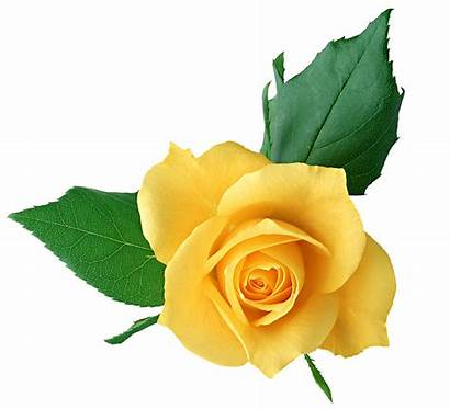 Yellow Transparent Flower Rose Clip Library