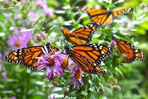 Monarch Butterfly Population Count 2019