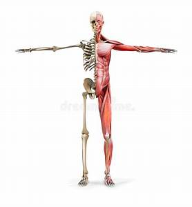 Muscles Body Diagram Stock Illustrations  U2013 402 Muscles