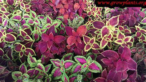 what is a coleus plant coleus growing grow plants