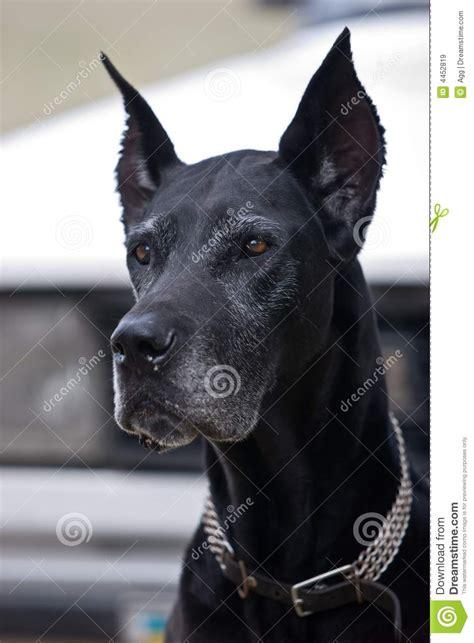 black dog royalty  stock images image