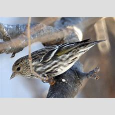 New Jersery In The Winter Common Backyard Birds New