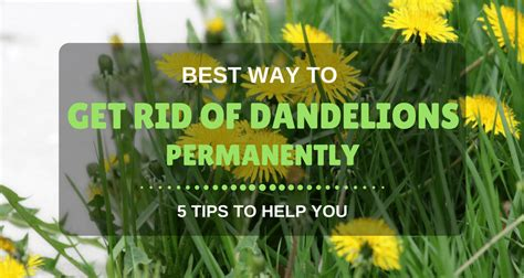 how to get rid of dandelions best way to get rid of dandelions permanently 5 tips to
