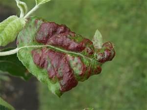 Rote Blätter Baum : rote gekr uselte bl tter am apfelbaum ~ Michelbontemps.com Haus und Dekorationen