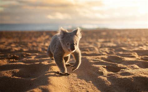 animals koalas beach sand wallpapers hd desktop