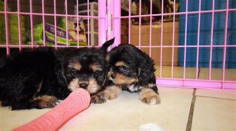 precious black  tan cavachon puppies  sale