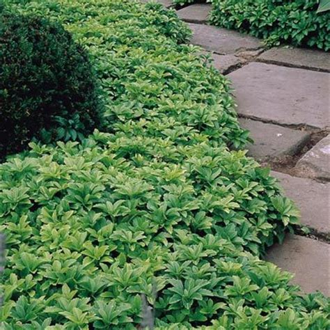 shade ground cover pachysandra terminalis evergreen ground cover for complete shade in woodland garden or side