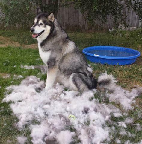 Alaskan Malamute Breed Profile Australian Dog Lover