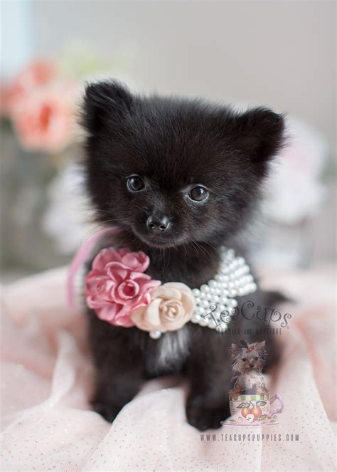 Pomeranian Puppies And Pomeranians For Sale In South Florida Teacups Puppies Boutique