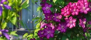 Clematis Pflanzen Kübel : clematis pflanzen garten ratgeber ~ Orissabook.com Haus und Dekorationen