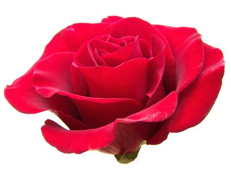 Red Rose Clip Art Free