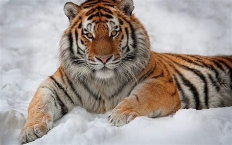 Beautiful Tiger Lying On Snow Widescreen Wallpaper