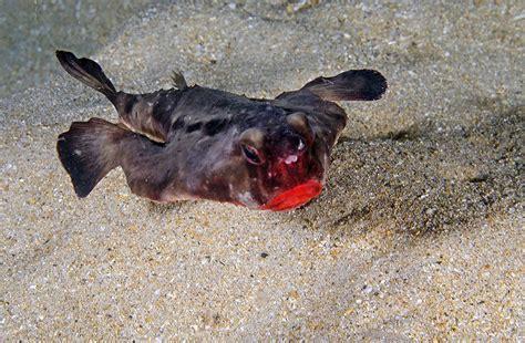batfish lipped galapagos wildlife conservation trust