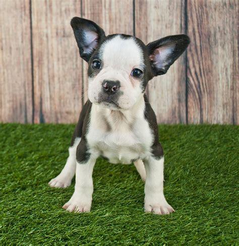 frenchton breed characteristics puppyspot