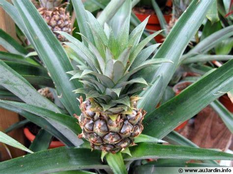 cuisiner l ananas ananas comosus conseils de culture
