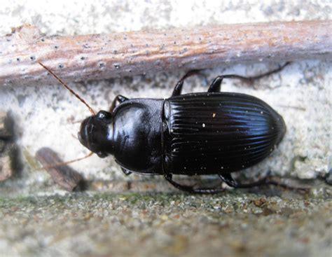 Large Black Beetle Identification