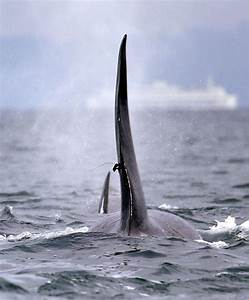 Orca U0026 39 S Death In B C  Linked To Infection From Scientific