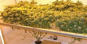 Indoor Grow Anleitung : should i grow hydroponic marijuana marijuana seeds for sale ~ Eleganceandgraceweddings.com Haus und Dekorationen