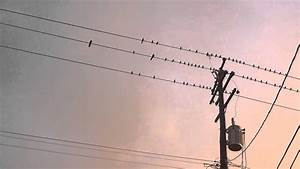 Birds On Telephone Wire Field Recording