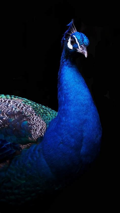 beautiful peacock  wallpapers hd wallpapers id