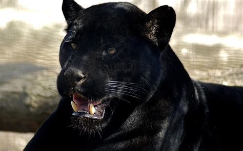 Panther Animal Wallpaper - animals panthers black panther 1680x1050 wallpaper high